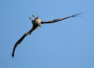 Greifvögel - Rotmilan flugspiel