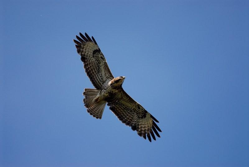 schnellster vogel sturzflug
